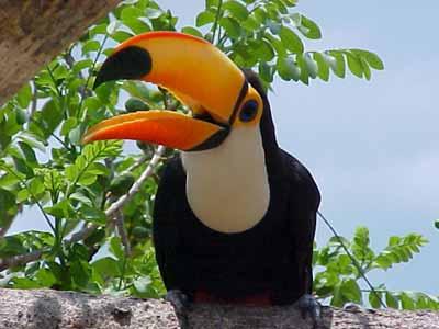 IBAMA alerta: Tucanos são contagiosos